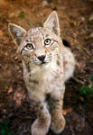 Take me with you - Lynx Cub by Manu34