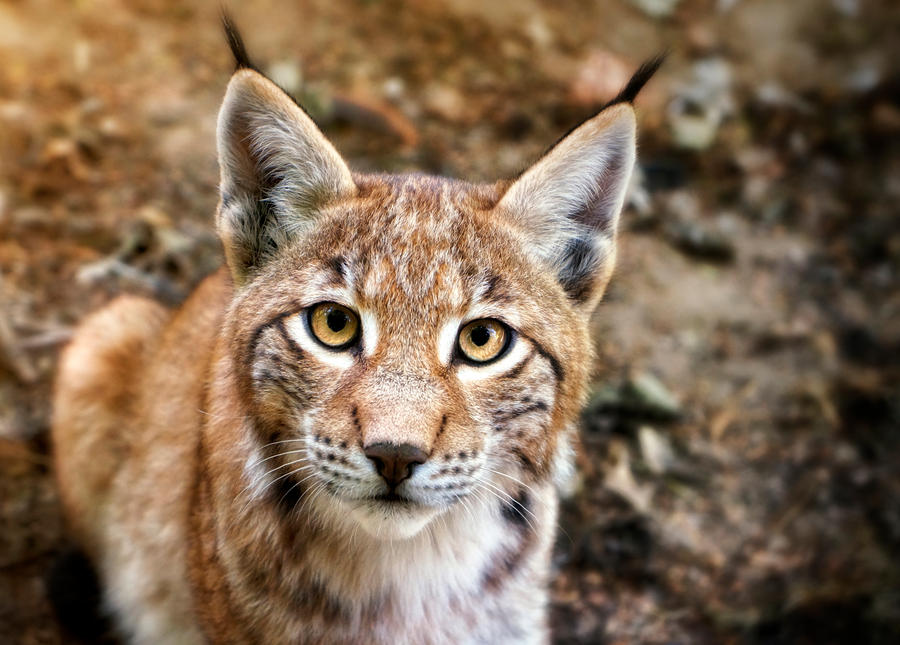 who are you lynx cub by manu34 on deviantart
