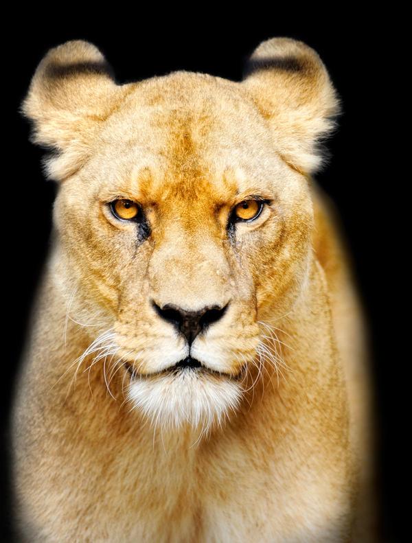 Sinister Lion by Manu34