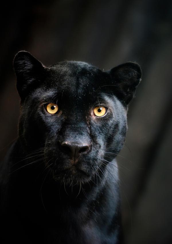 Black Beauty - Panther Portrait by Manu34