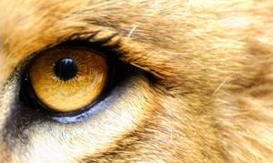 Lion's Golden Eye