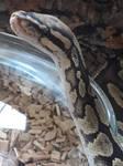 Jago the python  by LittleAngelTales