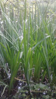 Emerald Green Tall Grasses From The Deep