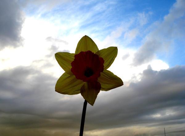 Daffodil in the sky by jade-redmoon