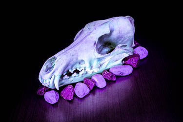 Coyote skull by Wolfenion