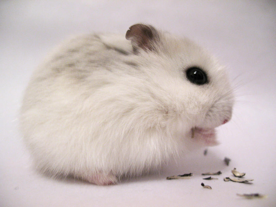 white dwarf hamster with red eyes - photo #37