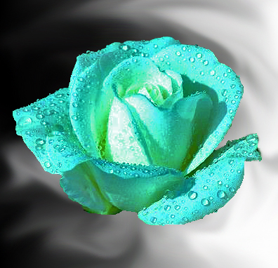 Image gallery teal roses for Natural multi colored roses