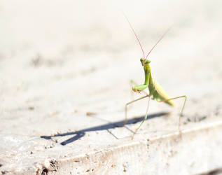 The Mantis by Krak-Fox