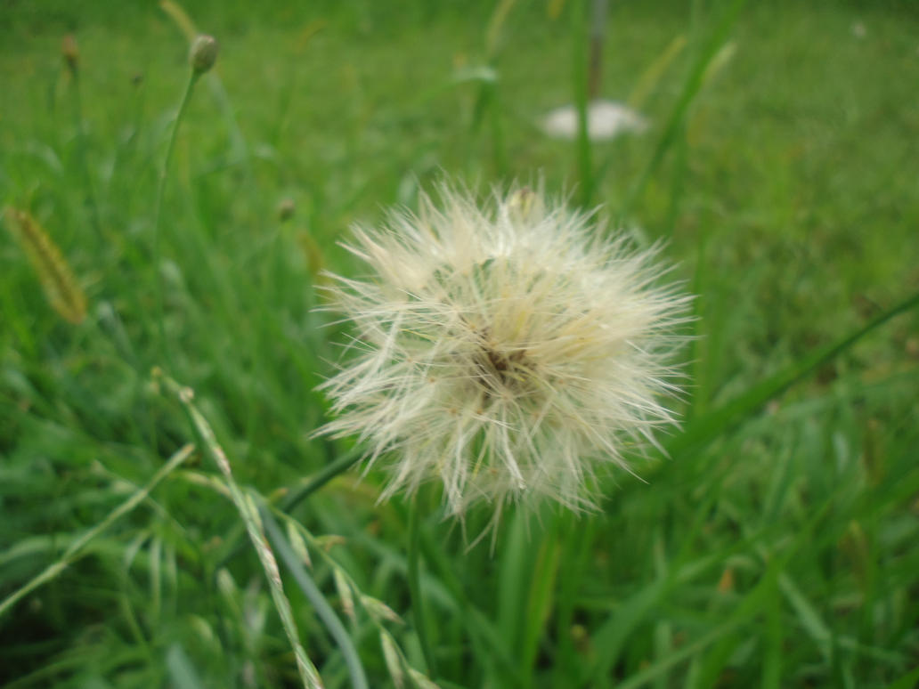 Taraxacum officinale by Olsonz