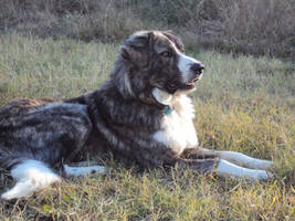 my Greek sheepdog