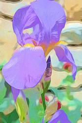 Iris germanica Poster Art by digivuza