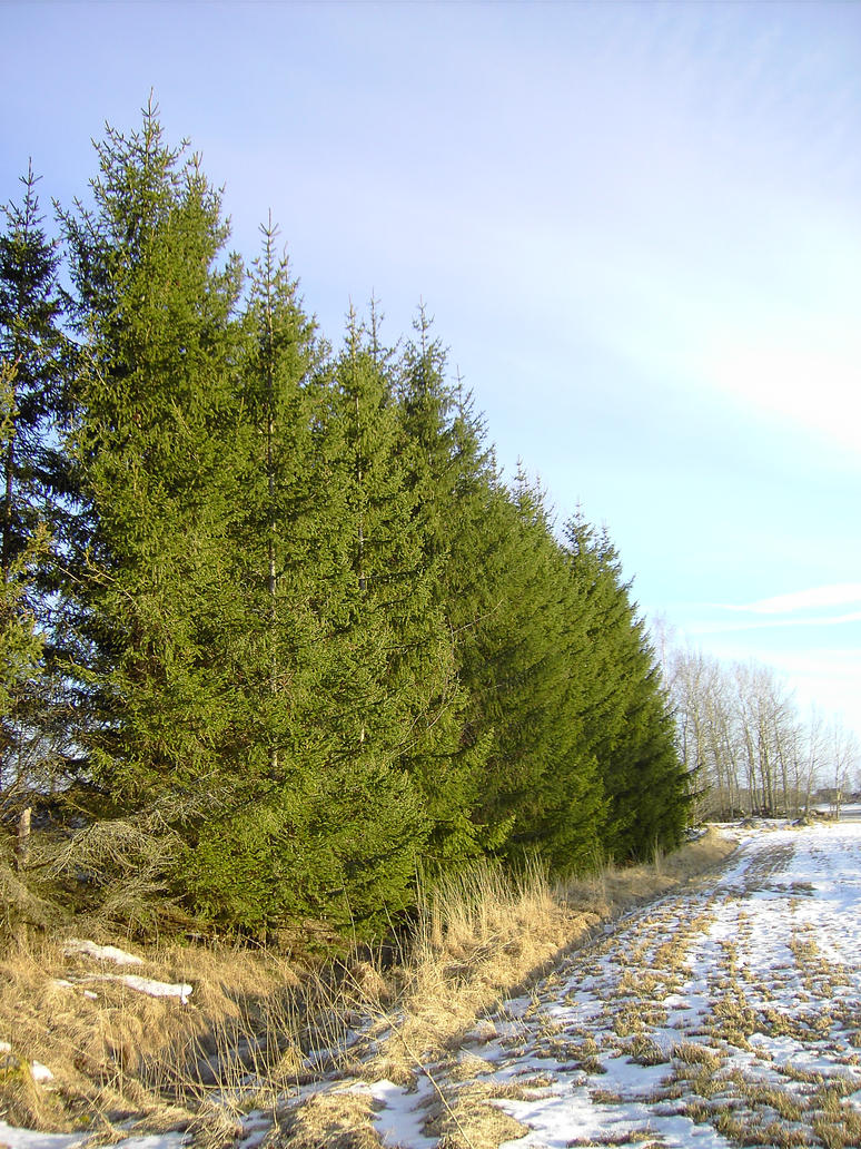 spruce_by akinna-stock by akinna-stock