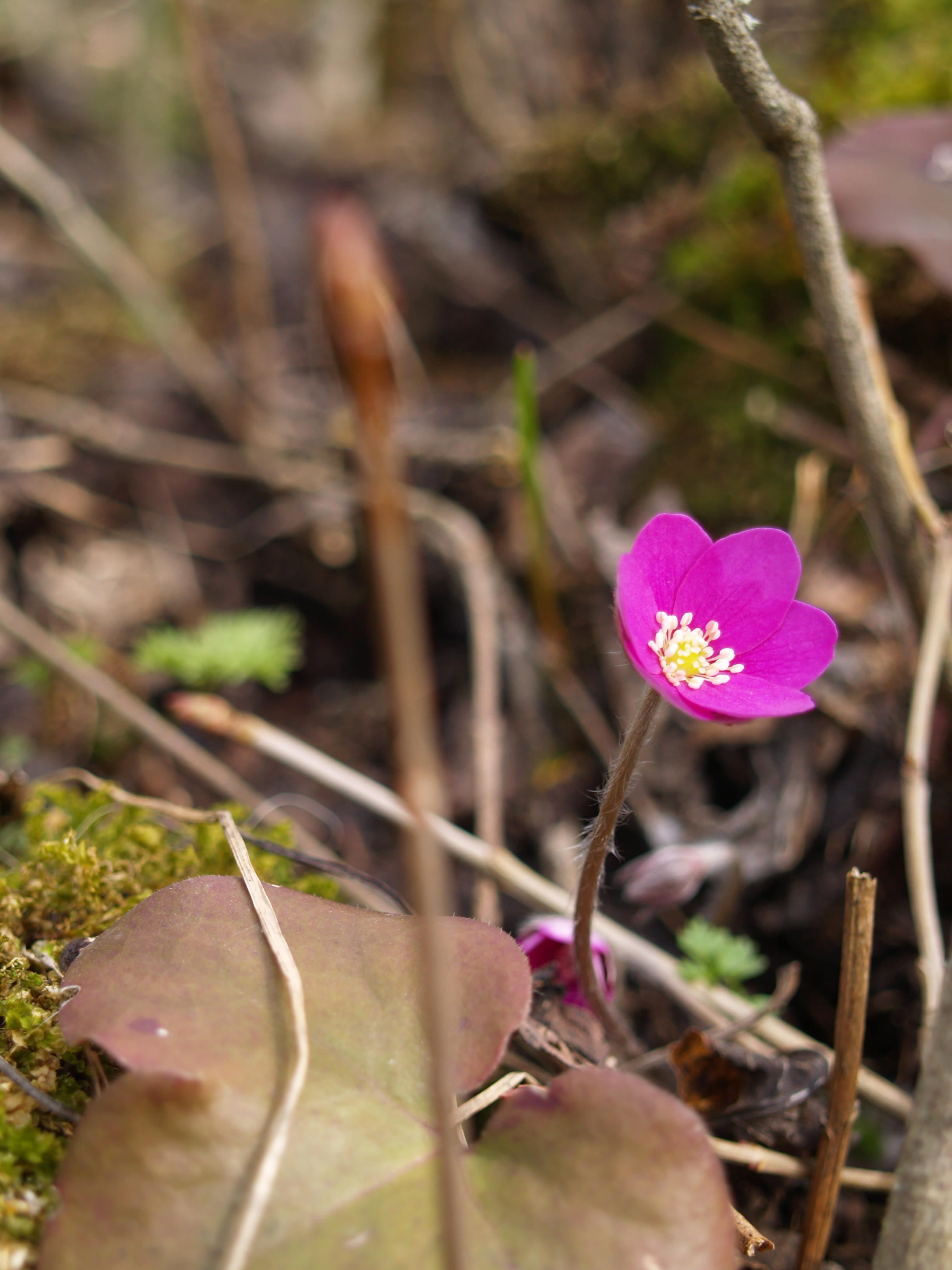 purple flower 1 by akinna-stock