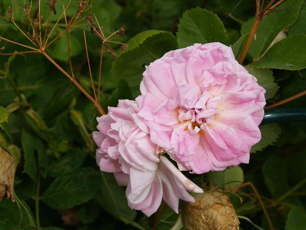 flower01 by akinna-stock