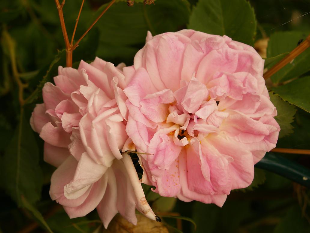 flower02 by akinna-stock