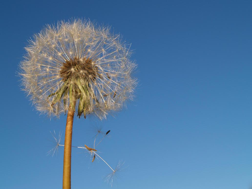 dandelion01 by akinna-stock