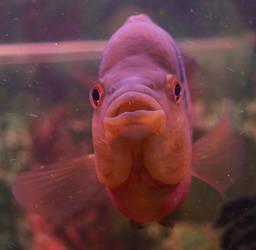 fish08 by akinna-stock