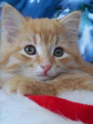 Ozloe the Kitten