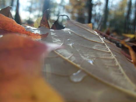 Maple Dew