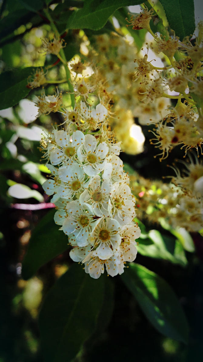 Little white flowers by rcambriz on deviantart little white flowers by rcambriz mightylinksfo