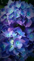 Blue and Purple Hydrangea by RCAmbriz