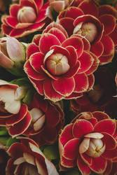 Kalanchoe Flowers II