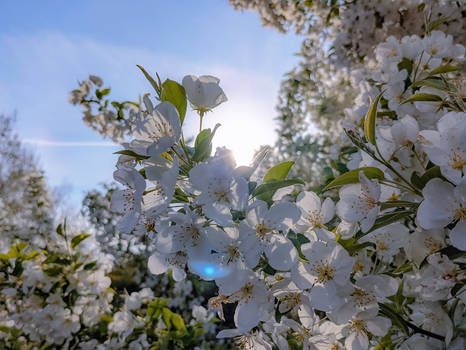 Blossoms of White
