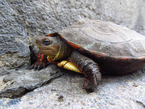 turtle little