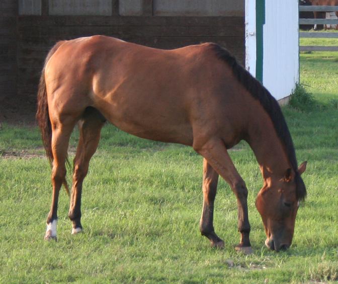 Cherry Bay Quarter Horse