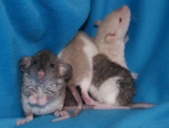 Cute baby rats - photo#7