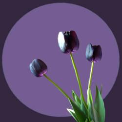 Purpleheart by astroviolet