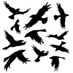 Ravens Stock
