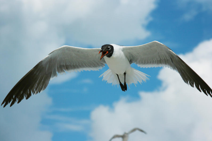 Flying Seagull by dlc-nature-stock