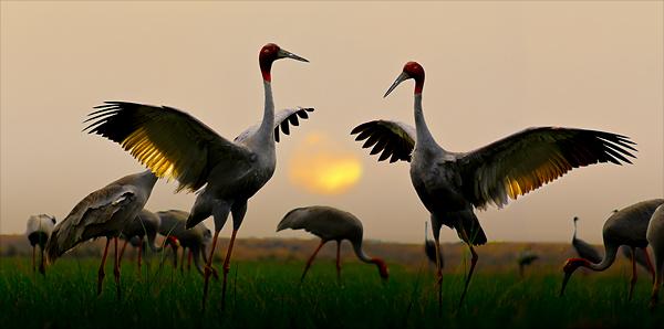 Red-headed crane by hoangnamphoto