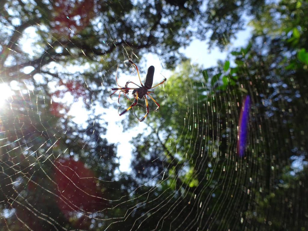 Orb Weaver by Lonestarnoctus123