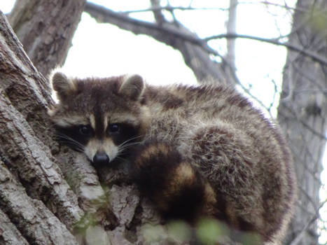 More Little Coon