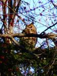 Mama Owl, Maple