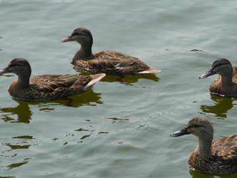 Quad-ducks by Destroyer77