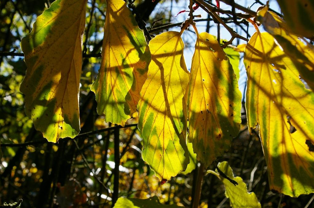 Hamamelis leaves by Berneyman