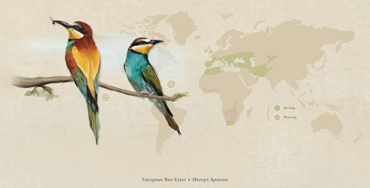 European Bee-eater (Merops Apiaster) by Aracama