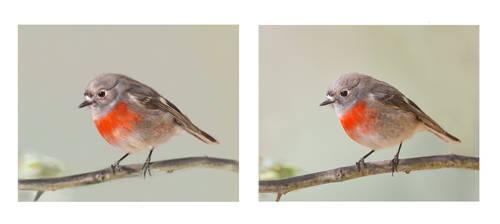 Female Scarlet Robin digital painting study by Aracama