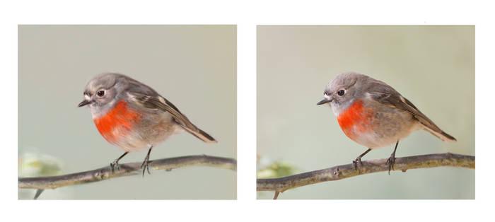 Female Scarlet Robin digital painting study