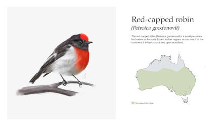 Red Capped Robin- Petroica goodenovii by Aracama