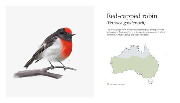 Red Capped Robin- Petroica goodenovii