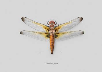 Female Scarce dragonfly (Libellula fulva)