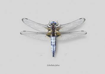 Male Scarce dragonfly (Libellula fulva)