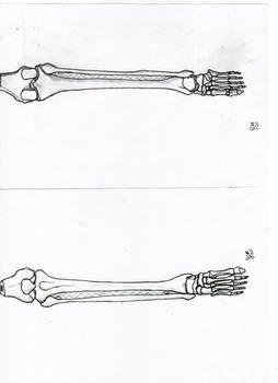 Anatomia osteologia de pierna