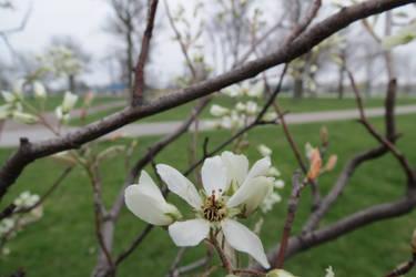 Magnolia by LadyAsymmetric