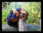 Golden Headed Lion Tamarin by ArtClem