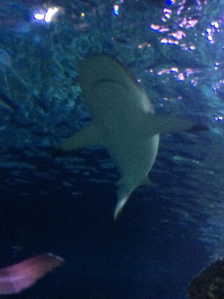 Black-Tipped Reef Shark by Sabreleopard